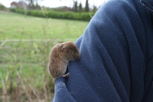Bank Vole 1 Photo by Su Haselton