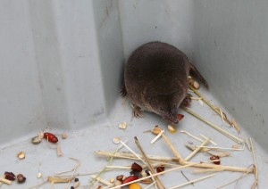 Common Shrew 12 April 2014 Photo by Su Haselton