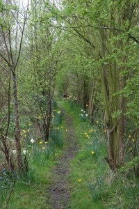 Daffodil Walk in early April Photo by Su Haselton