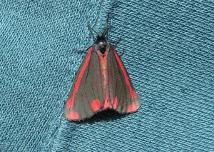 Cinnabar Moth Photo by Tim Izzett