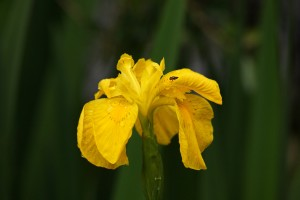 Yellow Flag Iris Photo by Su Haselton