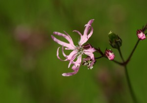 Ragged Robin Photo by Su Haselton
