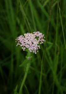 Yarrow Photo by Su Haselton