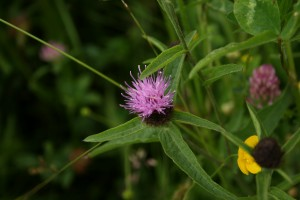Black (Common) Knapweed Photo by Su Haselton