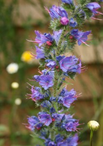 Viper's Bugloss Photo by Su Haselton
