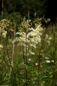 Meadowsweet Photo by Su Haselton
