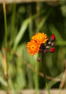 Orange Hawkweed (Fox and Cubs) Photo by Su Haselton
