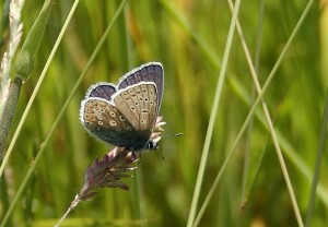 Common Blue Butterfly Photo by Su Haselton