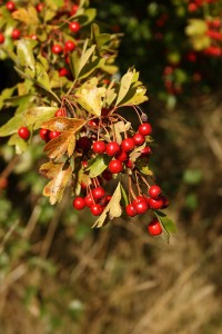 Hawthorn Berries August 2014 Photo by Su Haselton