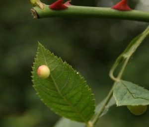 Smooth Pea Gall on Dog Rose August 2014 Photo by Su Haselton