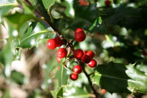 Holly Berries Photo Su Haselton