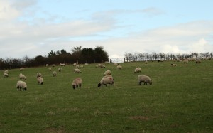 Sheep manage our meadows Photo Su Haselton