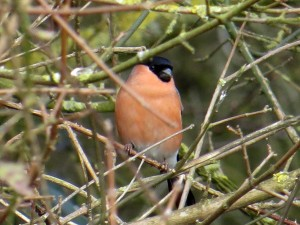 Male Bullfinch Photo by Viv Downes