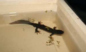 Great Crested Newt Photo by Su Haselton