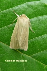 Common Wainscot Photo by Liz Brotherstone