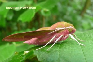 Elephant Hawkmoth Photo by Liz Brotherstone