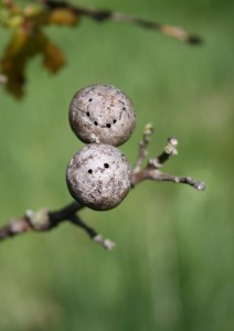 Oak Gall Photo by Su Haselton