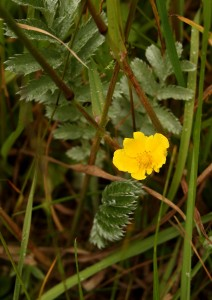 Silverweed Photo by Su Haselton