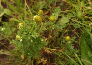 Pineappleweed Photo by Su Haselton