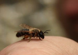Chocolate mining bee Photo by Su Haselton