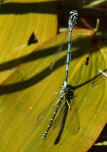 Male & Female Azure Damselflies Photo by Su Haselton