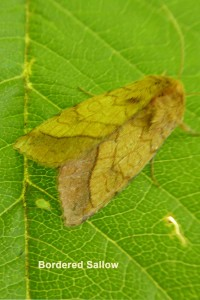 Bordered Sallow Photo by Liz Brotherstone
