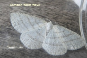 Common White Wave Photo by Liz Brotherstone