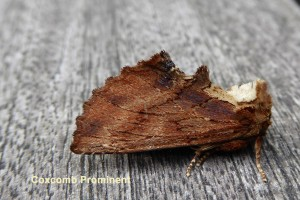 Coxcomb Prominent Photo by Liz Brotherstone