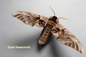 Eyed Hawkmoth Photo by Liz Brotherstone