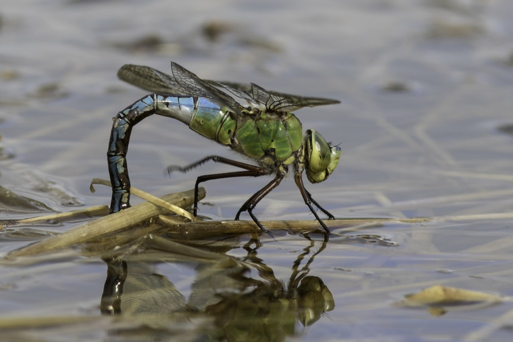 Female Emperor Dragonfly Rough Hey Pond Photo by Mark Walters