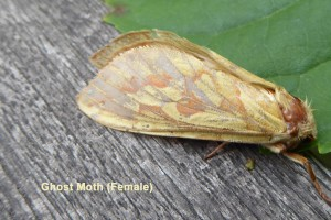 Ghost Moth (female) Photo by Liz Brotherstone