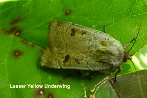 Lesser Yellow Underwing Photo by Liz Brotherstone