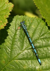 Male Azure Damselfly Photo by Su Haselton