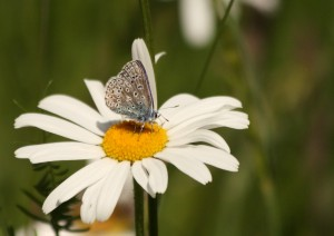 Male Common Blue Photo by Su Haselton
