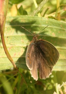Male Meadow Brown Photo by Su Haselton