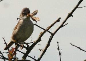 Male Whitethroat Photo by Su Haselton