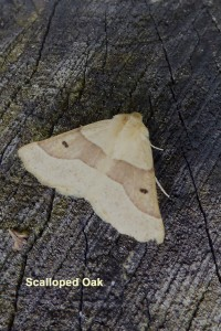 Scalloped Oak Photo by Liz Brotherstone