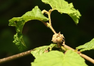hazelnut forming in North Wood in June Photo by Su Haselton