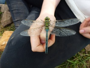 male Emperor Dragonfly Photo by Jonathan Atkins