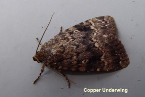 Copper Underwing Photo by Liz Brotherstone