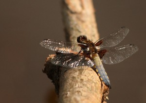 Male Broad-bodied Chaser Photo by Su Haselton