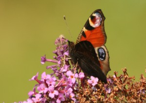 Peacock butterfly Photo by Su Haselton