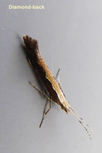 Diamond back (micro moth) Photo by Liz Brotherstone