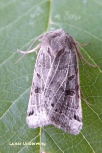 Lunar Underwing Photo by Liz Brotherstone