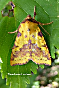 Pink-barred Sallow Photo by Liz Brotherstone