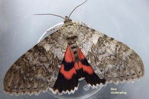 Red Underwing Photo by Liz Brotherstone