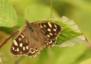 Speckled Wood butterfly Photo by Su Haselton