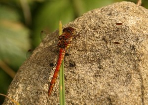 male Common Darter Photo by Su Haselton