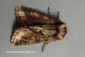 Green-brindled Crescent Photo by Liz Brotherstone