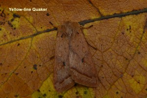 Yellow-line Quaker well camouflaged Photo by Liz Brotherstone